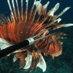 The Shocking Truth about the Invasive and Destructive Lionfish
